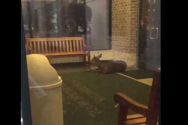 Say What?!: Disoriented Deer Bounces Off Walls Inside New Jersey High School