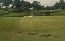 Say What?!: 6-Foot Python Removed From PGA Tour Golf Course in Malaysia