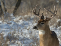 Buck Harvest Up 9 Percent in 2016-2017 Seasons