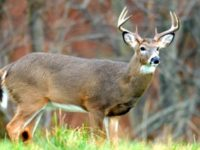 Chronic Wasting Disease Cases Multiply in Pennsylvania