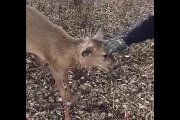 Deer-attacks-man-after-being-freed-from-coyote-trap-in-Ohio