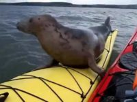 Say What?!: Friendly Young Seal Hops Up on Kayak in Scotland