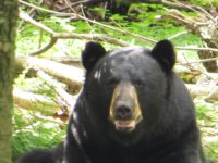 Pennsylvania Game Commission: Bear Harvest Ranks Fifth Highest Tally in State History