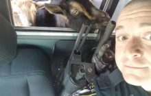 Say What?!: Wandering Pygmy Goats Take 'Day Trip' in Officer's Patrol Car