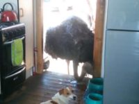 Say What?!: Ostrich Pokes Head into Kitchen to Steal Food from Dogs