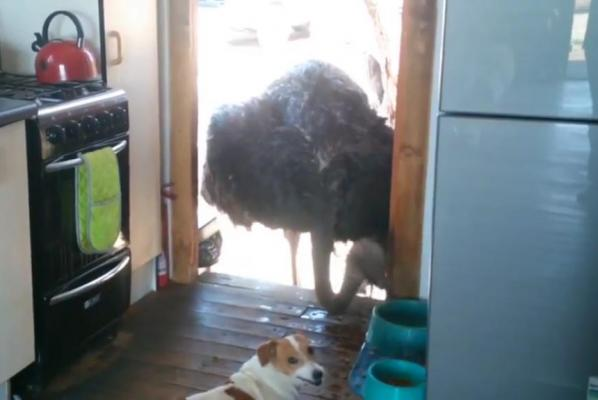 Ostrich-pokes-head-into-kitchen-to-steal-food-from-dogs