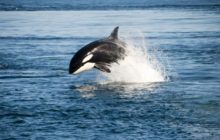 Say What?!: Killer Whales 'Harass' Fishermen, Steal Fish