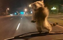 Say What?!: Raccoon Hitches Ride on Hood of Moving Police Cruiser