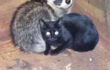 Say What?!: Tennessee Police Find Kitten, Raccoon Cuddling in Dumpster