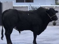 Say What?!: Escaped Bull Stampedes Through Las Vegas Neighborhoods