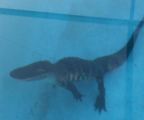 Say What Alligator Found In Family Swimming Pool