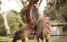 Say What?!: Zoo Burglar Inadvertently Let Kangaroos Escape