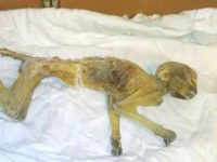 Say What?!: Mummified Monkey Found in Ceiling of Building