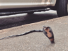 Say What?!: Rattlesnake Reported to Animal Control Turns Out To Be Toy Cobra