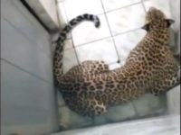 Say What?!: Leopard Gets Locked in Bathroom