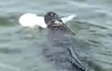 Say What?!: Gator Caught on Film Feasting on Shark