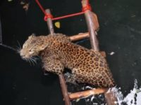 Say What?!: Leopard Trapped in Well Rescued in India