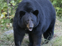 704 Pound Bear Taken in Clearfield County as Pa. Hunters Start Season with a Bang