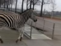 Say What?!: Escaped Zebras Run Loose Through German City