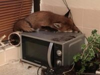 Say What?!: Family Discovers Wild Fox Sleeping on Microwave