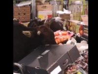 Say What?!: Loose Cows Wander into Store, Feast on Produce