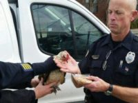 Say What?!: Police Use Little Debbie Snack to Catch Loose Chicken