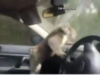 Say What?!: Wild Koala Climbs into Car to Relax in Air Conditioning