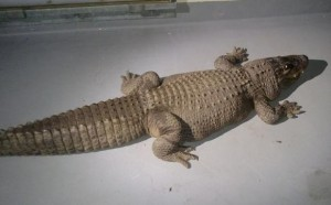 Handout photo of eight foot alligator taken from home by Los Angeles Animal Control Department
