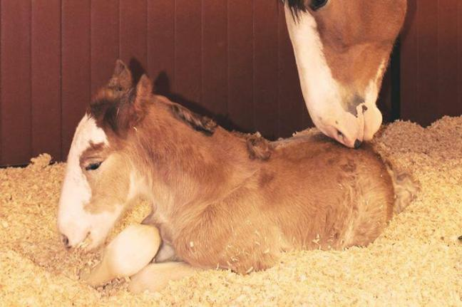 Budweiser-Clydesdale-foal-born-just-before-Super-Bowl
