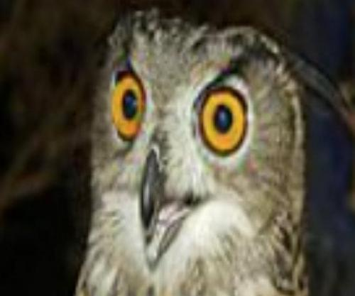 Terror-owl-to-be-relocated-by-Dutch-falconer