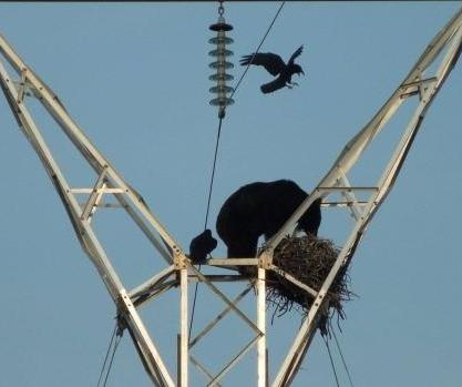 Hungry-black-bear-scales-electrical-tower-invades-ravens-nest