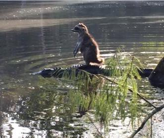 Raccoon-rides-alligator-in-photo-from-Floridas-Ocala-National-Forest[1]