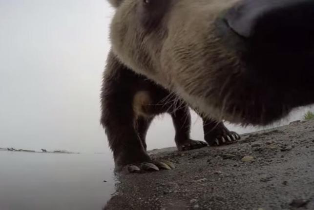 GoPro-camera-records-encounter-with-Russian-bears-jaws