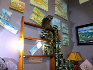 Police-Masked-bandits-at-Oregon-art-gallery-were-four-raccoons