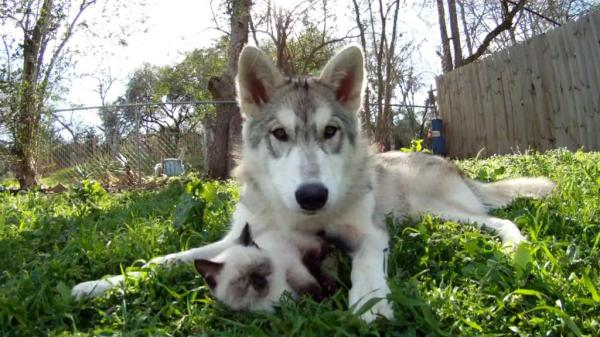 Young-wolf-acts-as-surrogate-mother-for-kitten
