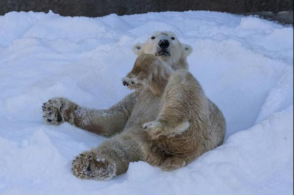 Its-a-white-Christmas-in-San-Diego-but-only-for-the-polar-bears