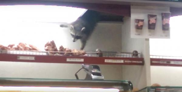 Raccoon-drops-into-coffee-shop-roof-to-steal-donut