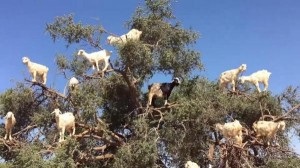 Acrobatic-goats-climb-branches-of-Argan-tree-in-Morocco