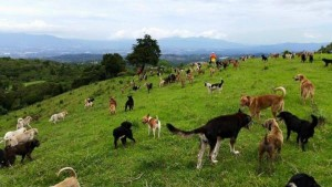 Costa-Rican-rescue-ranch-provides-free-range-environment-for-hundreds-of-dogs