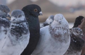 2000-pigeons-to-fly-over-East-River-fitted-with-LED-lights