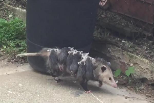OctoPossum-takes-her-babies-for-a-stroll-in-New-York