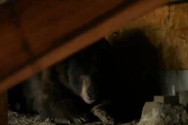 california-man-startled-by-bear-living-under-his-house