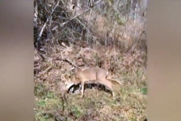 hunters-free-bucks-tangled-in-each-others-antlers-in-missouri
