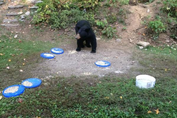vermont-man-fined-868-for-putting-out-plates-of-food-for-wild-bears