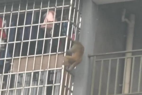 Monkey-scales-Chinese-apartment-building-steals-food-from-residences
