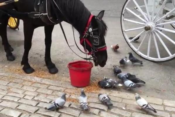 Carriage-pulling-horse-feeds-the-birds-in-New-York