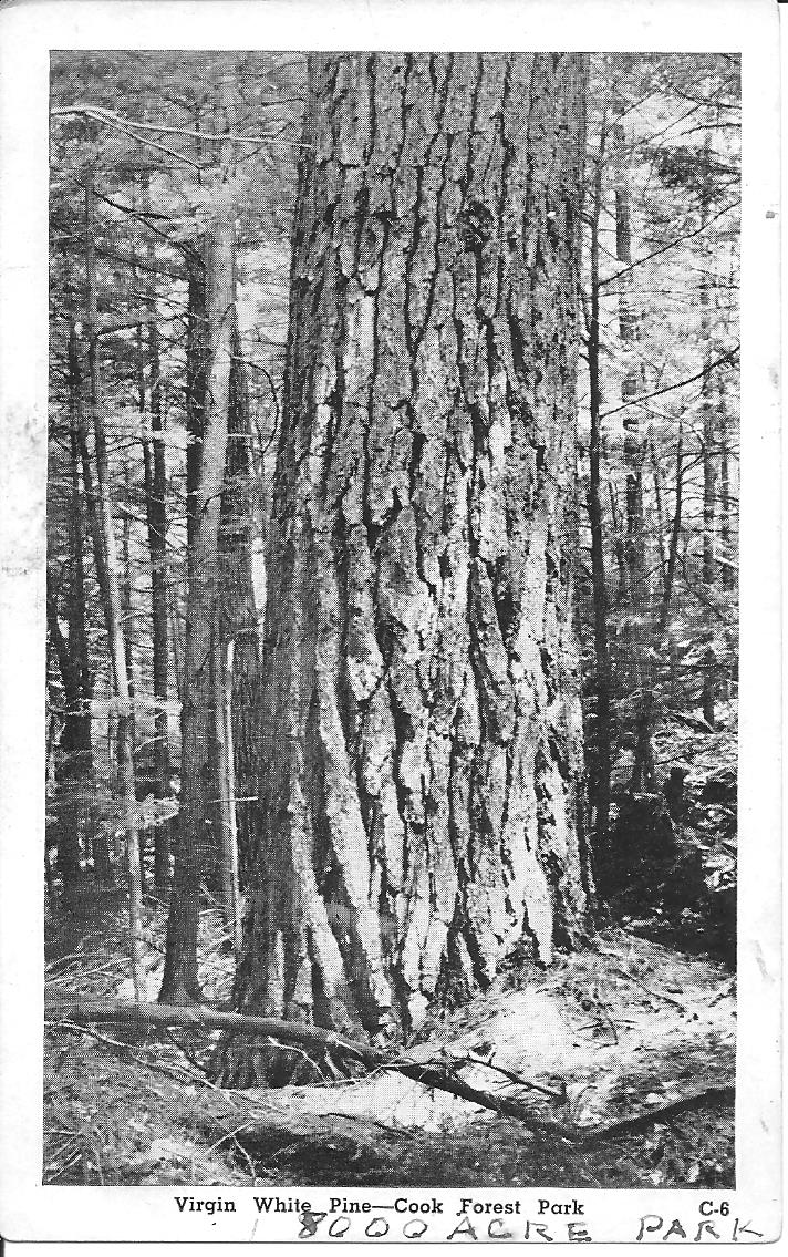 Cook Forest pine 001