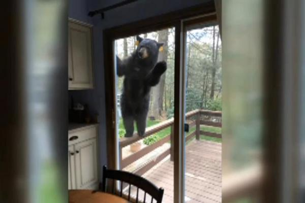 Angry-bear-tries-to-get-into-Connecticut-home-for-brownies