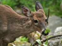 Forest Service Accepting Public Comment on Actions to Address Chronic Wasting Disease