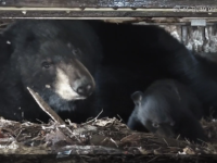 Explore Outdoors: Go Inside a Black Bear Den with Game Commission's New Live Stream
